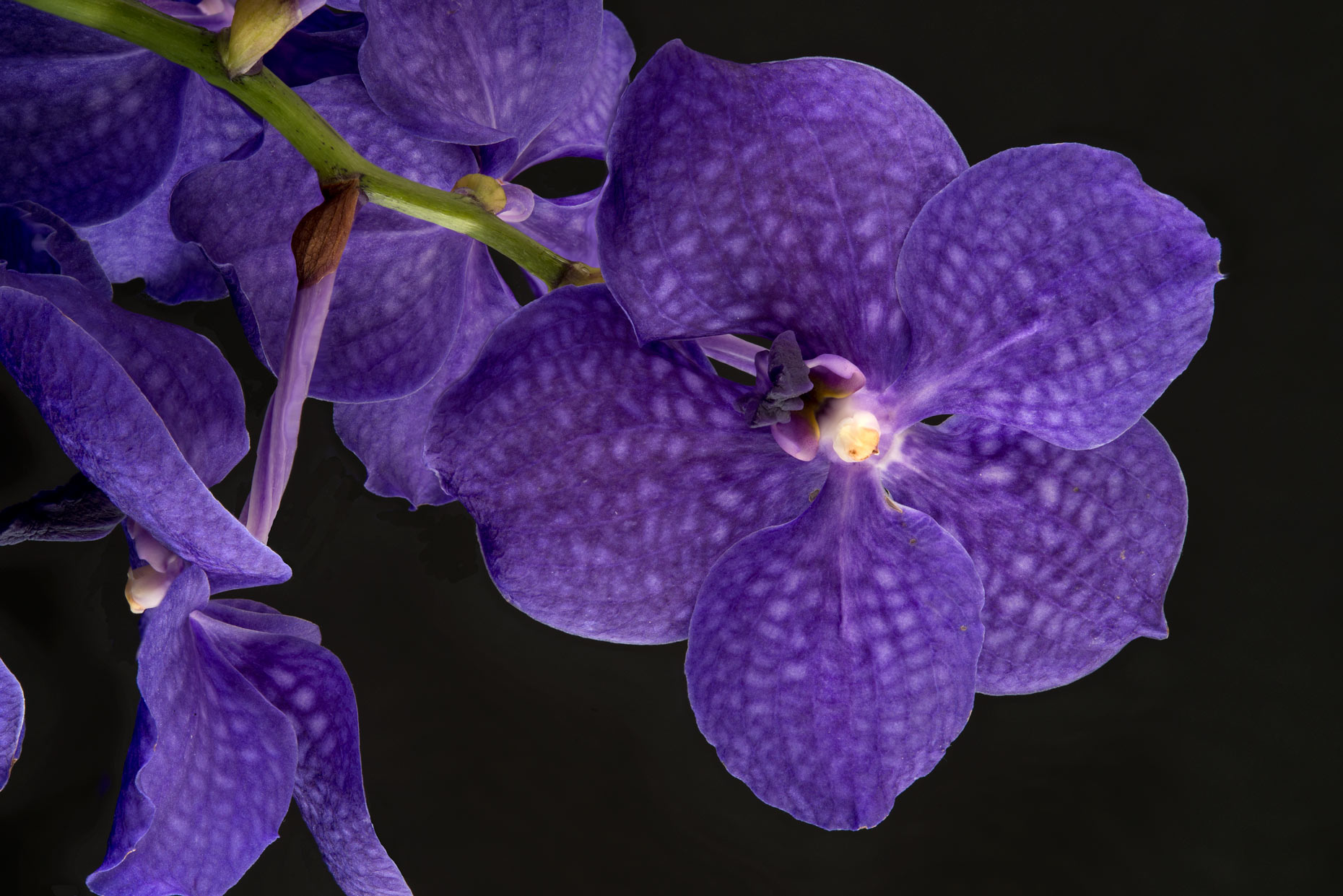 Focus stacking Fine Art Photograph Print Vanda ret