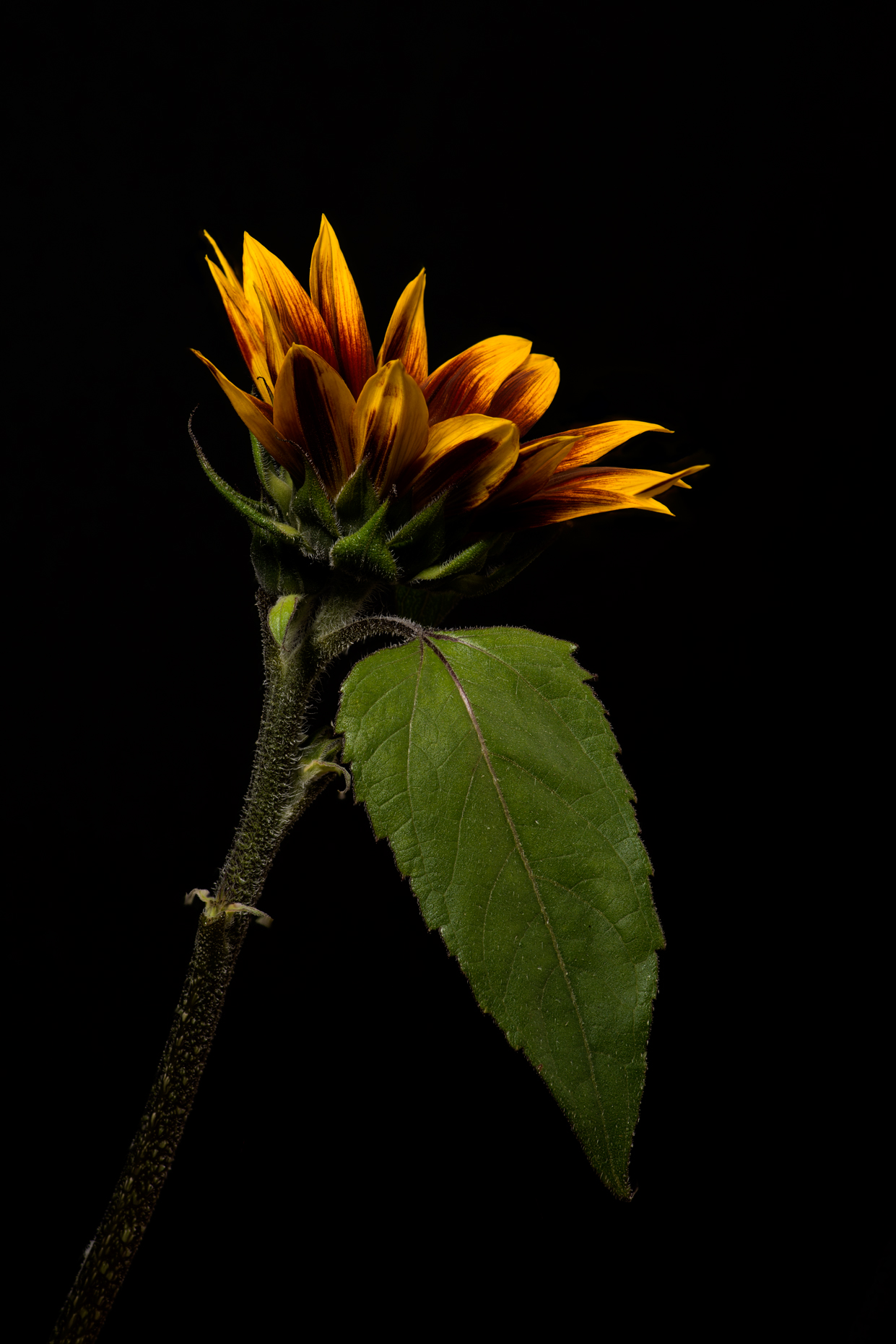 brown sunflower v1