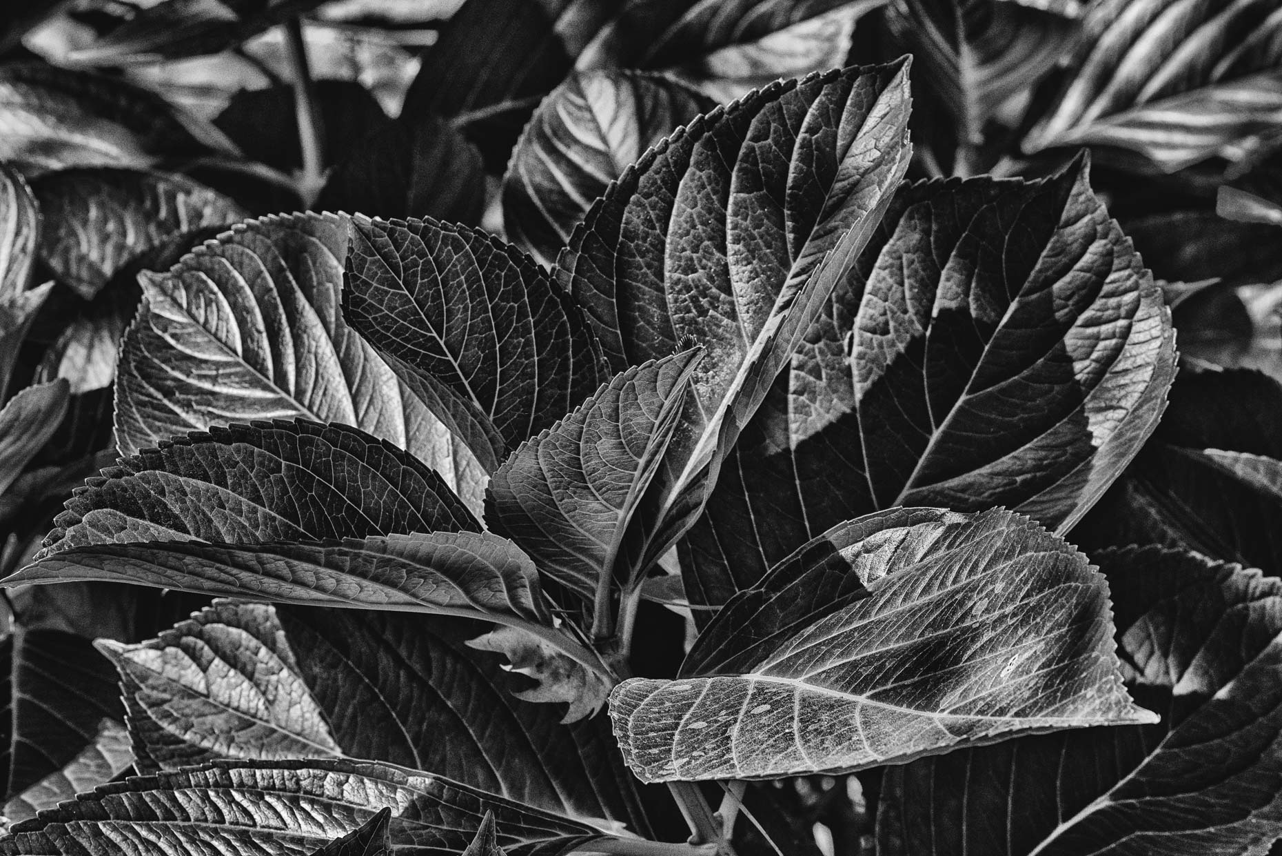 Fine Art Photograph Print Black  and White Leaves