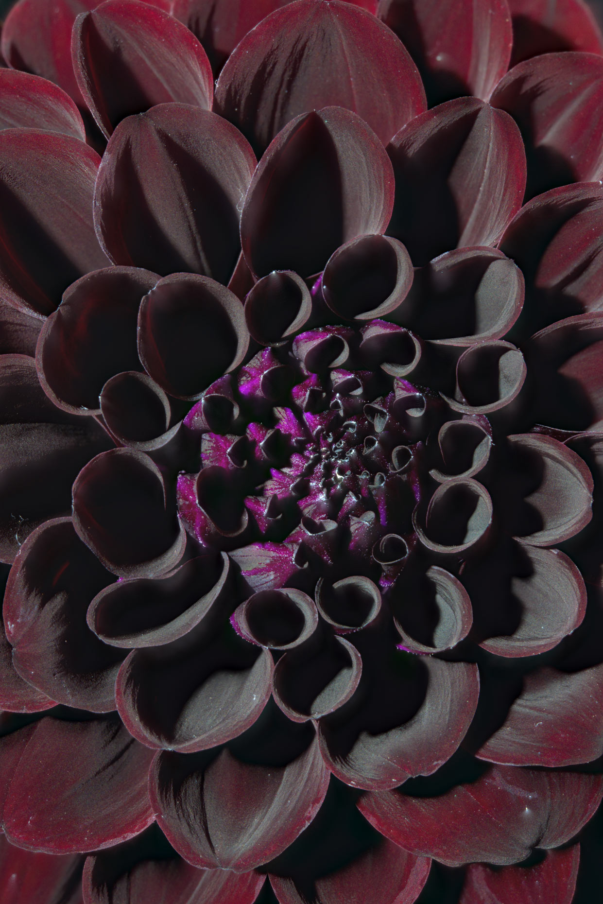 Fine Art Photograph Black Dahlia Focus Stacking 3