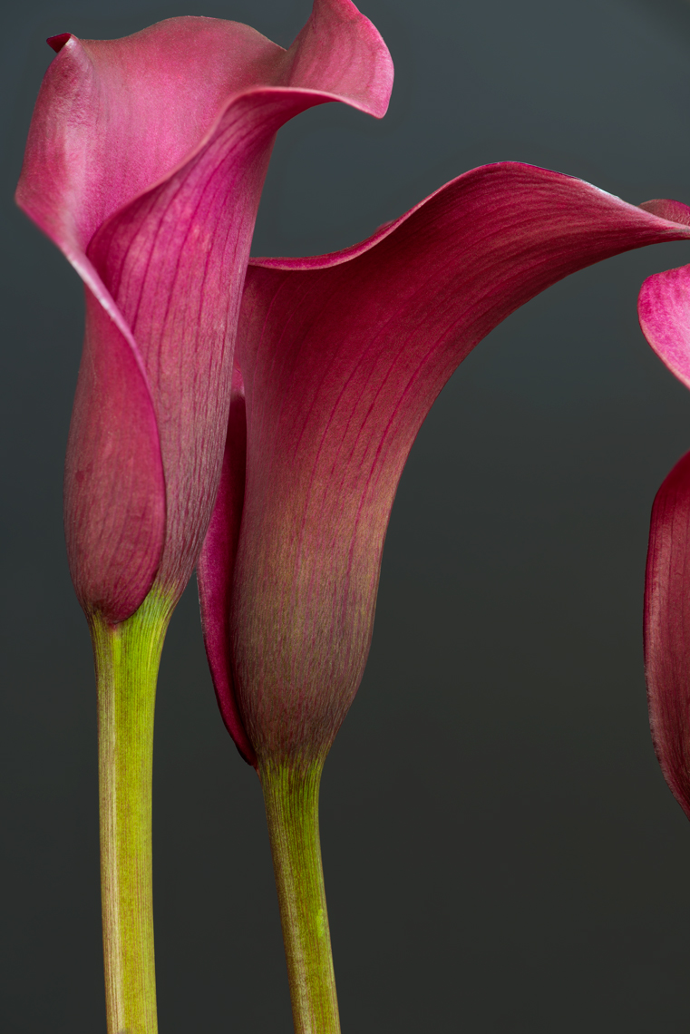Fine Art focus stacked calla lily