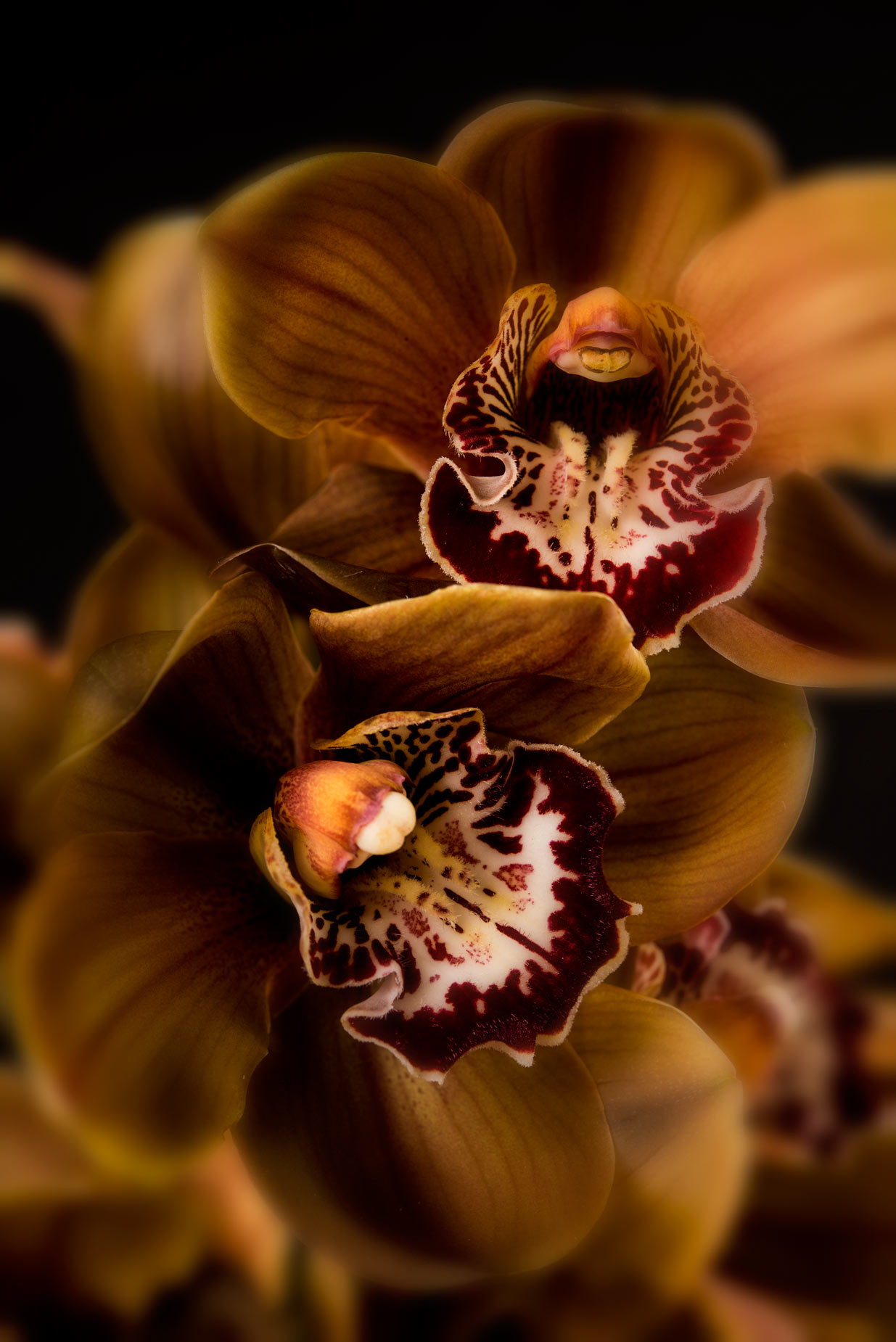 Fine Art Photograph Brown orchid flower pciture lens vignette v2 web