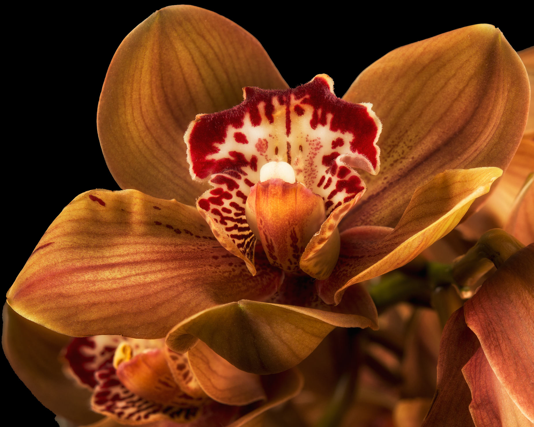 Fine Art Photograph print brown orchid in sun
