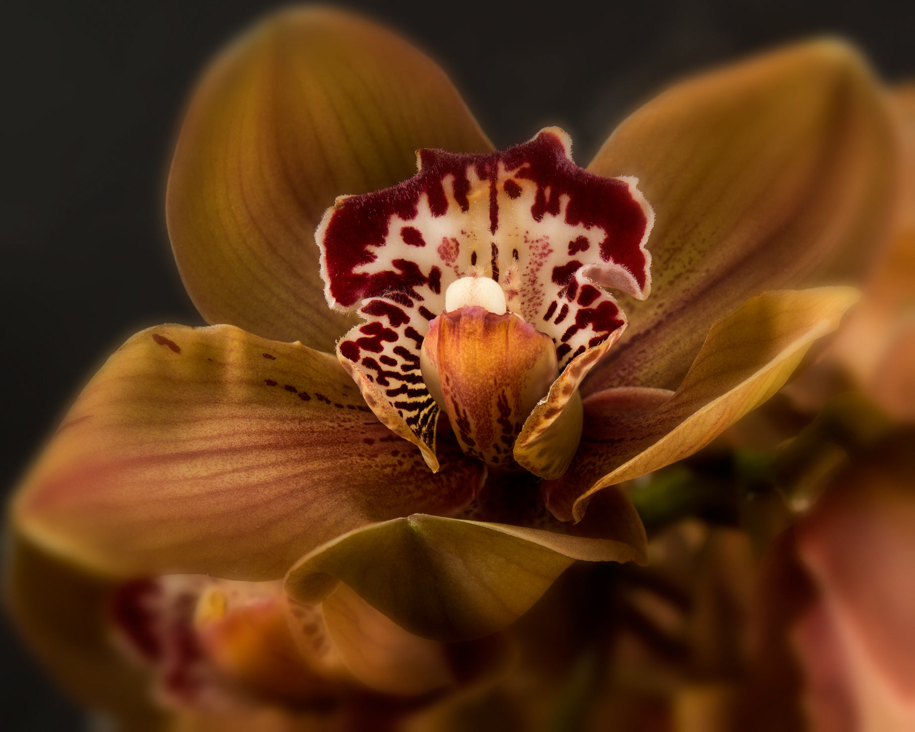 Fine Art Photograph Print vertical orchid focus stacking chocco vignette