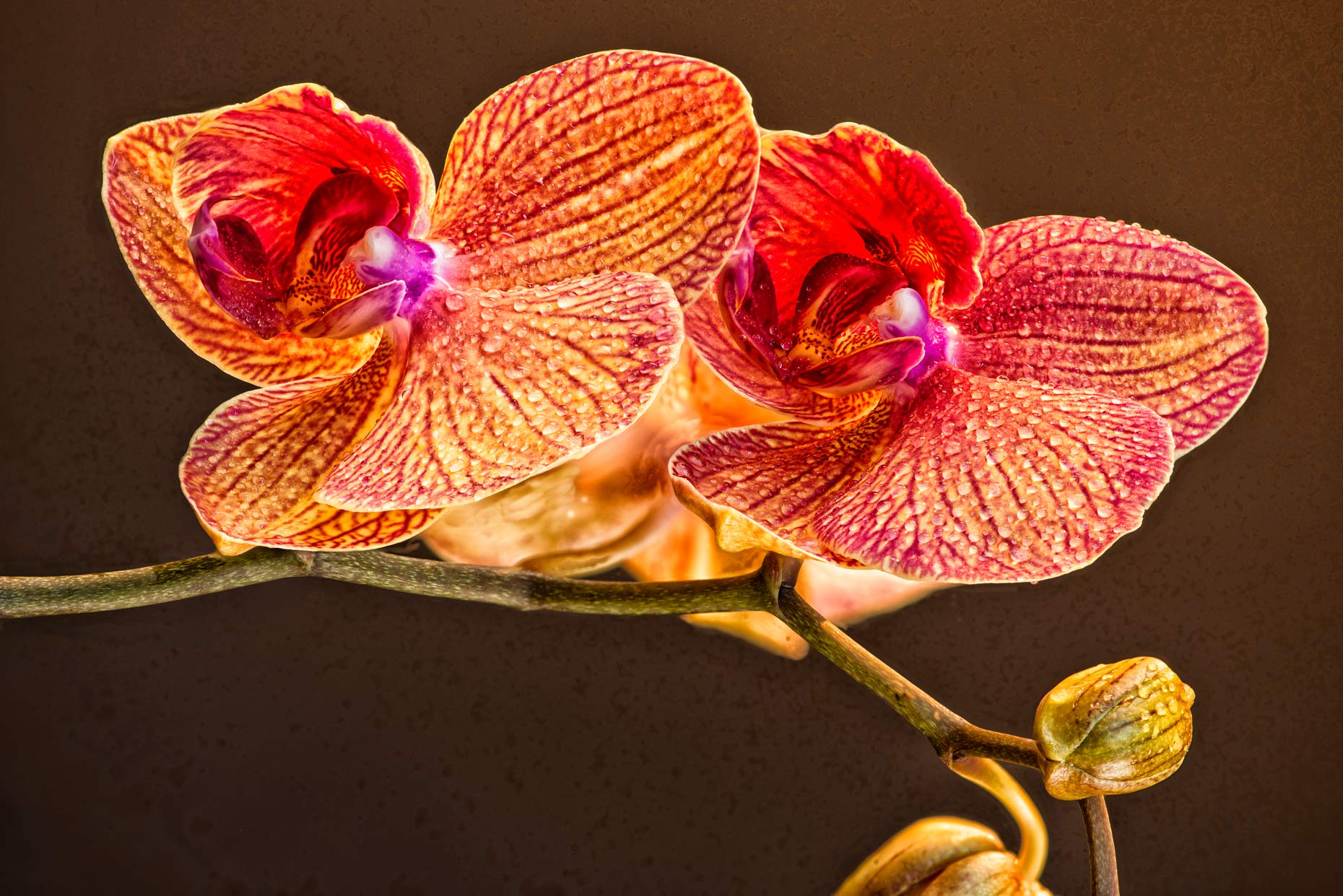 Fine Art Focus stacked orchid bloom
