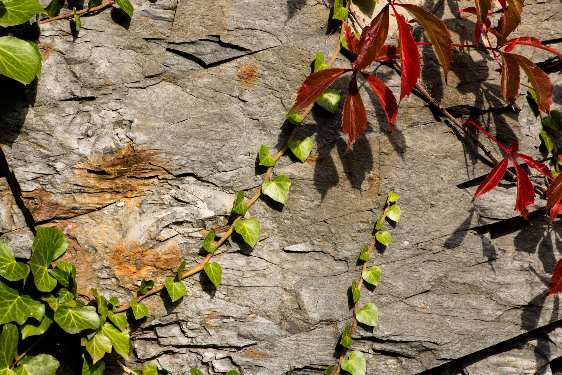 Red Vine reaching accross stone