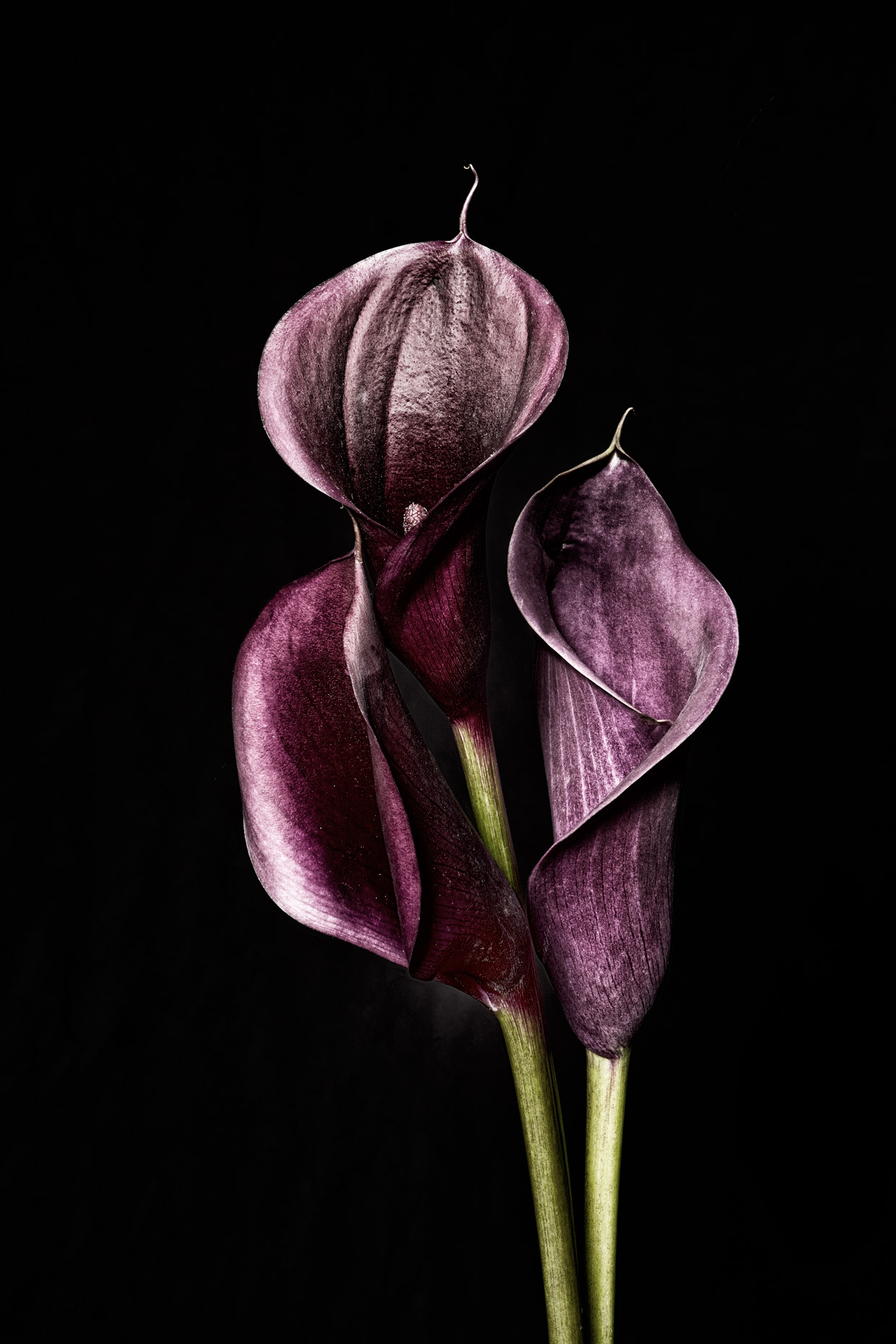 Three-Calla-lilies-focus-stacking-289-Bleached-v3