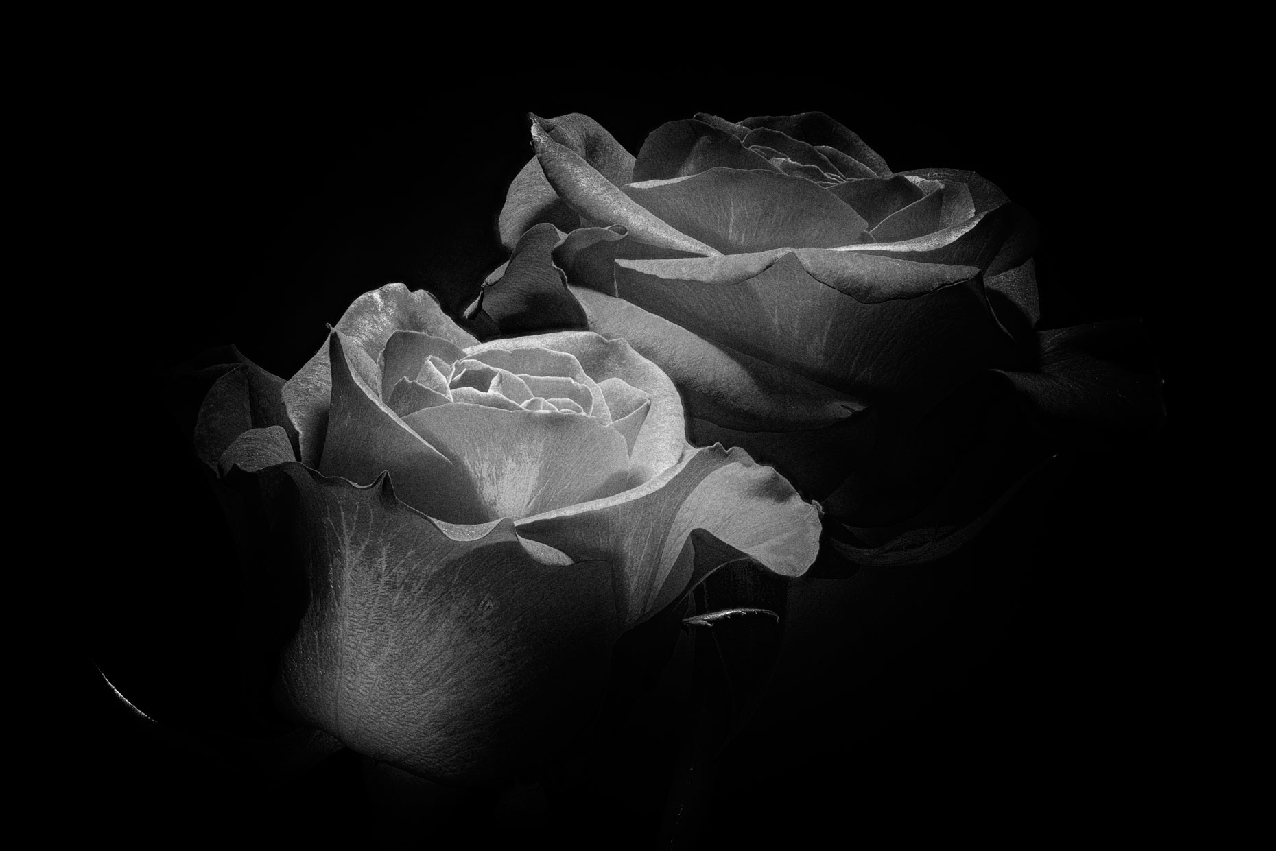 Vallentine-rose-7-bw-nik-web