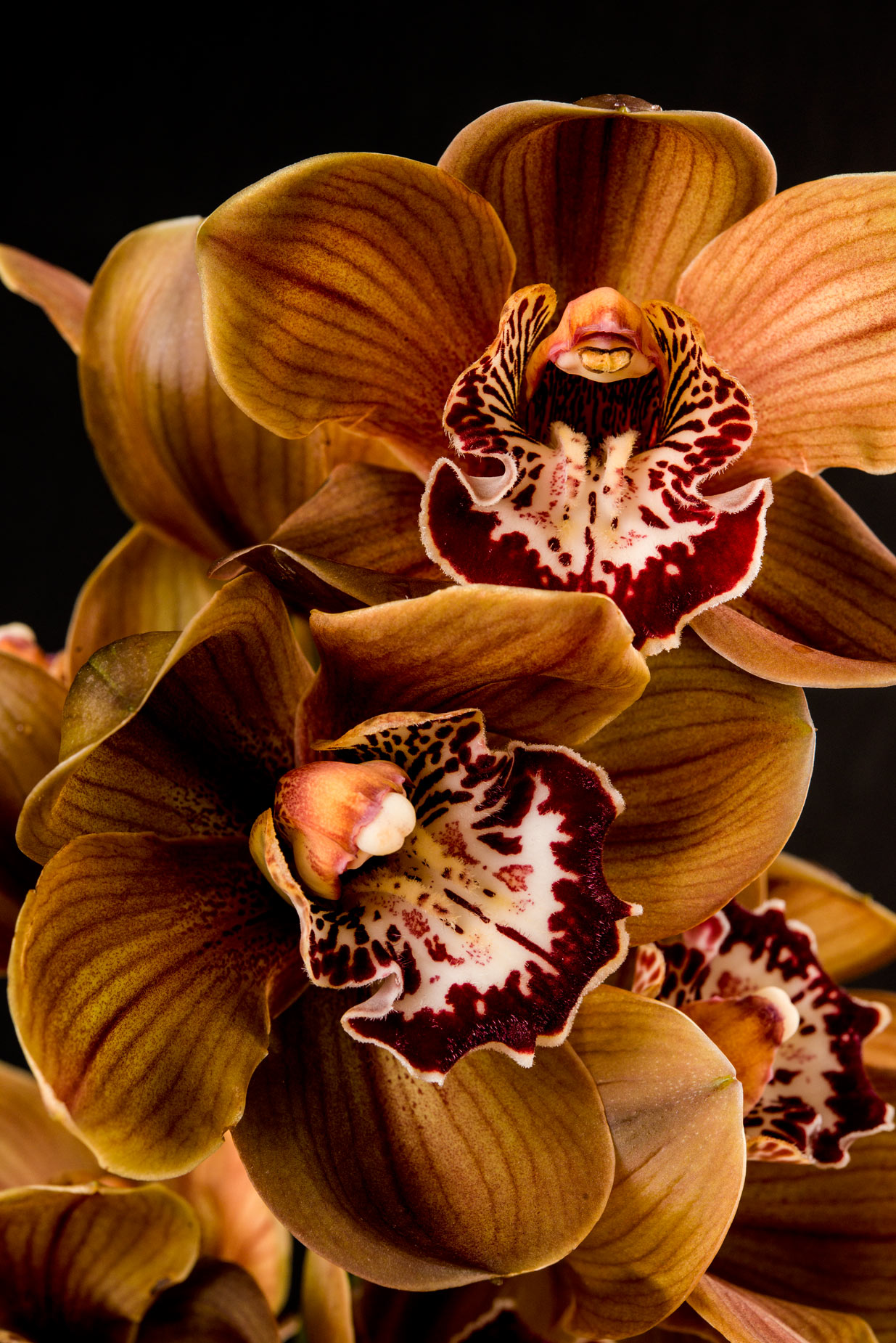 Fine Art Photograph brown orchid flower picture v1 web