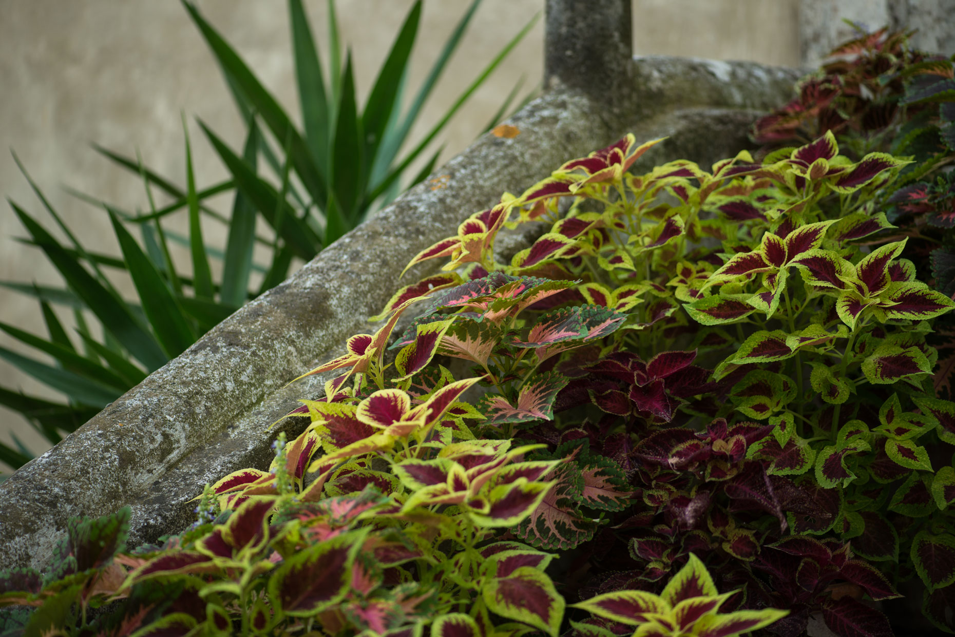 Nature and flowers in a coleus-filled stairway