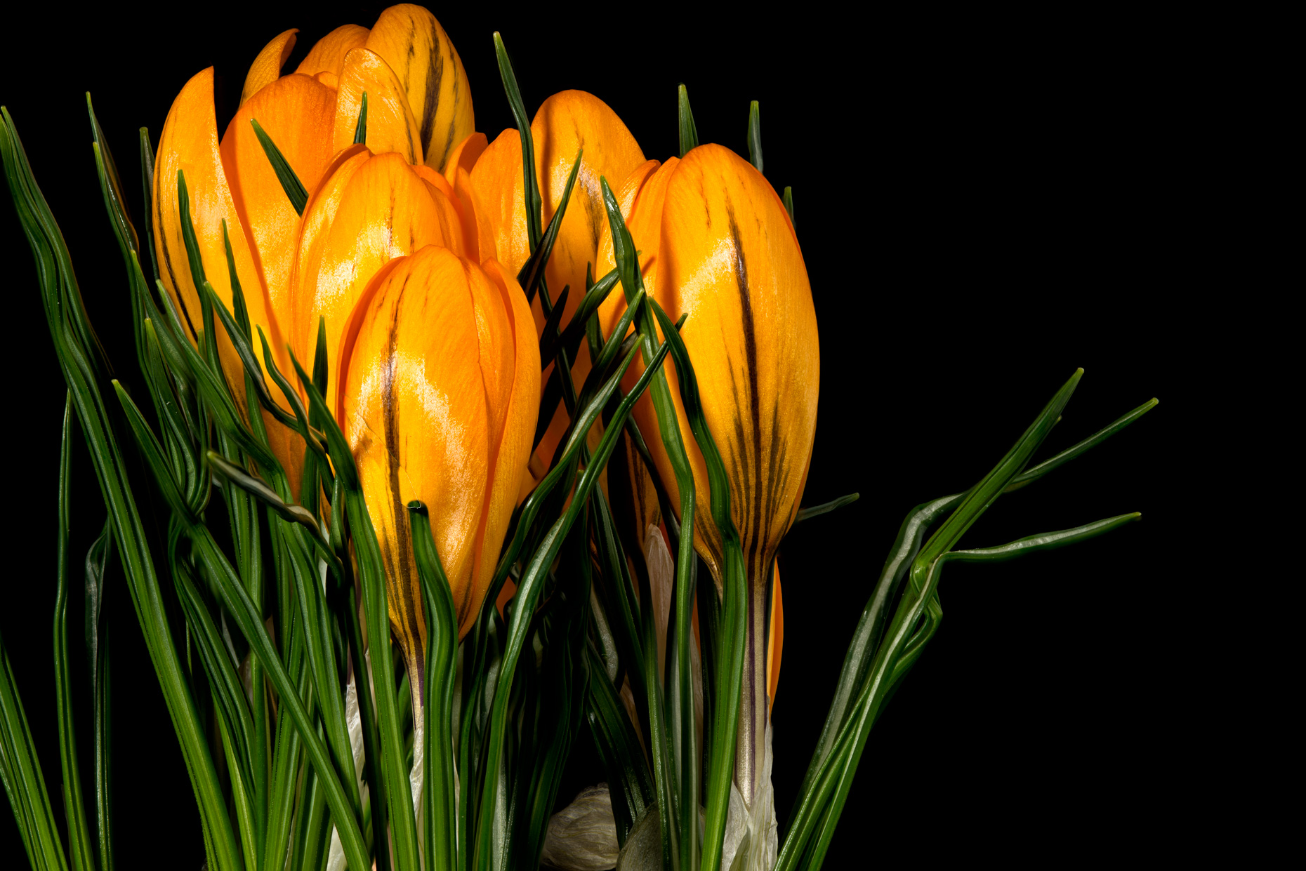 crocus-v10web fine art photo