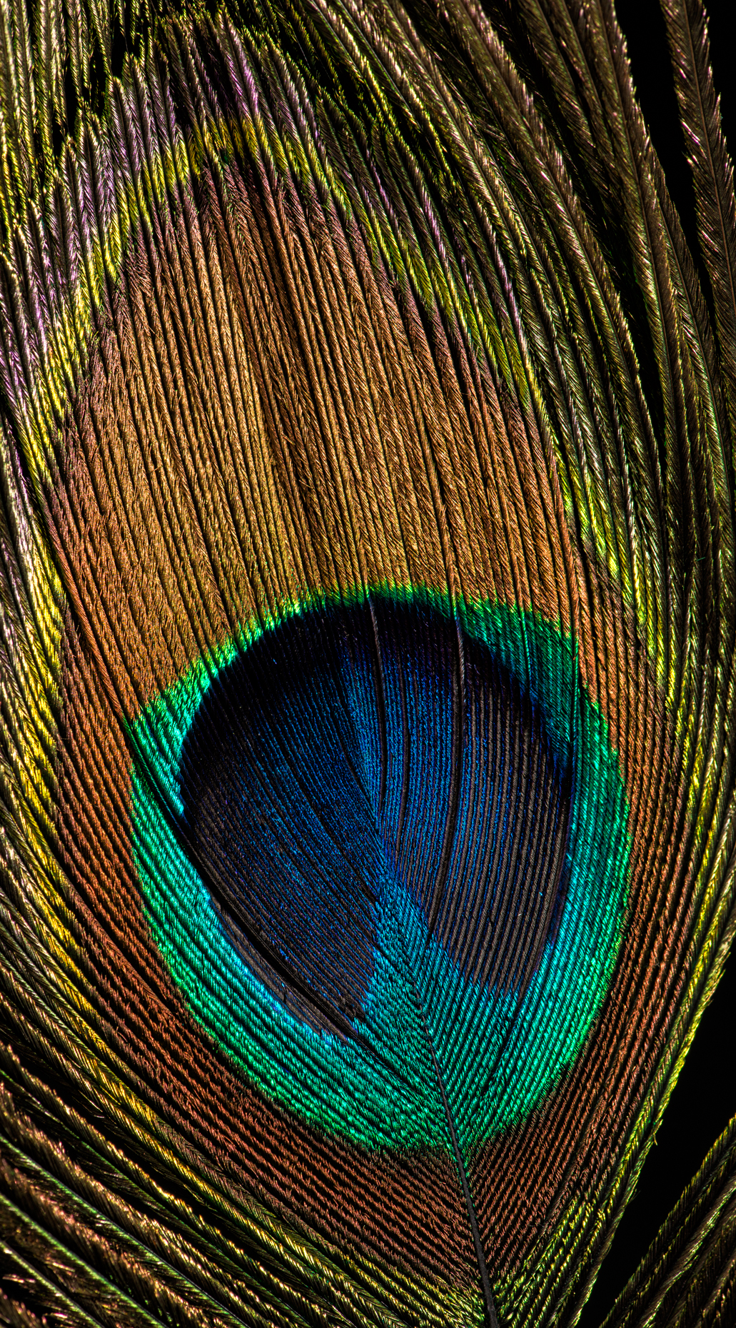 Peacock Feather crop v4