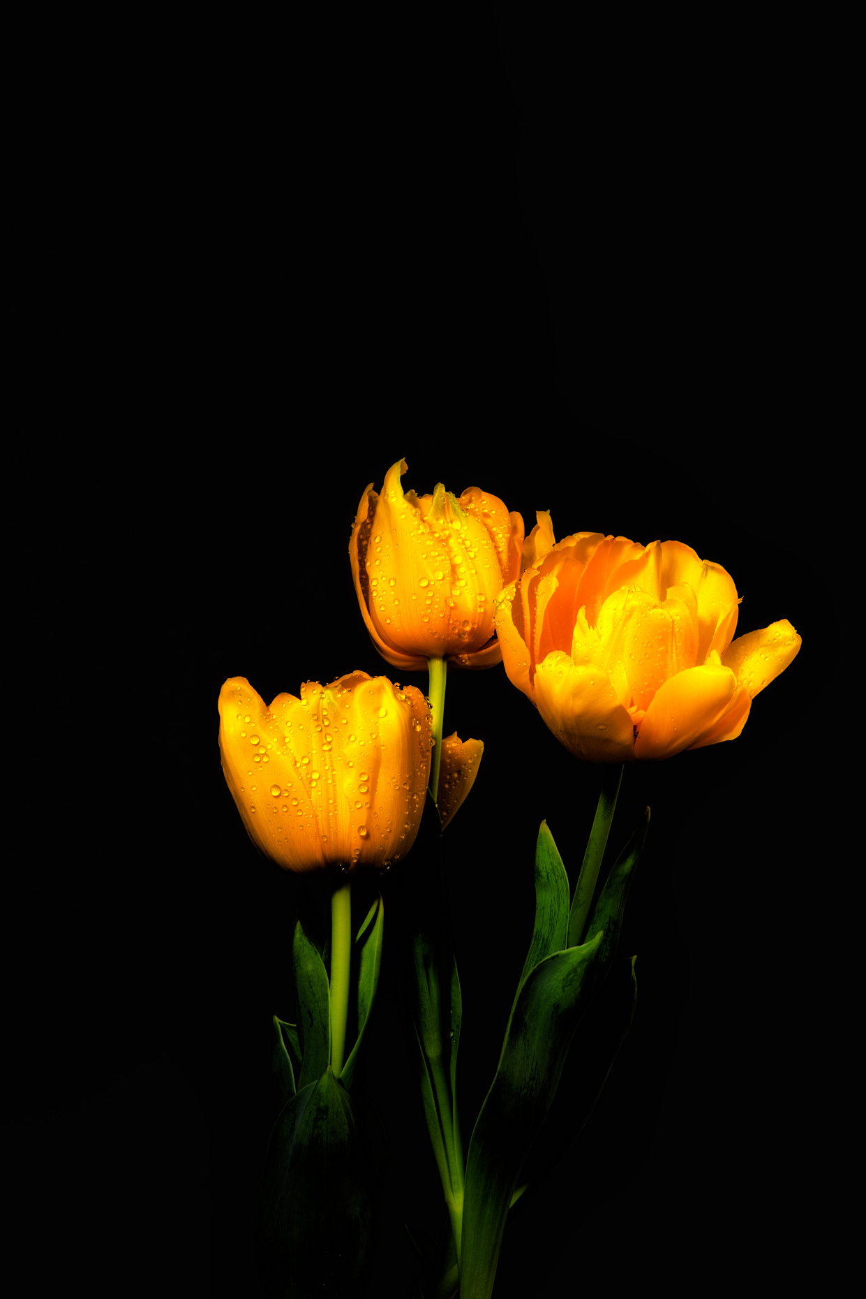 four-yellow-tulips-nik-contrast-v1web.jpg