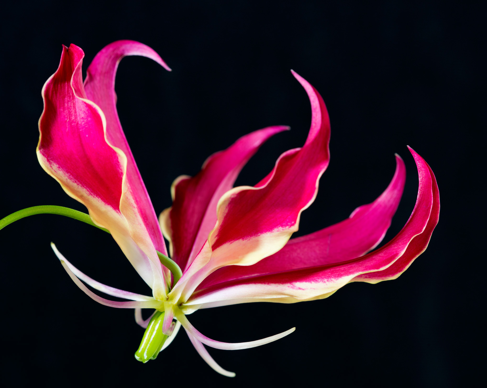 Fine Art photo print flame lily gloriosa7