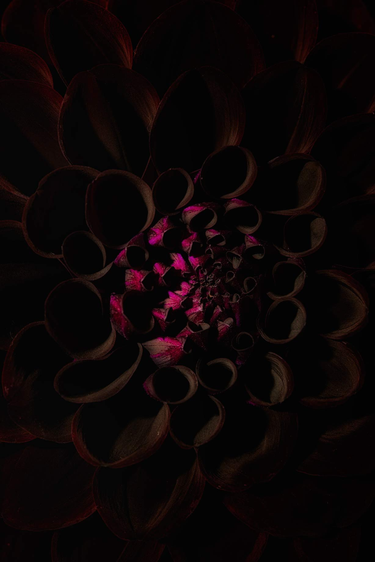Fine Art view of glowing dalia flower