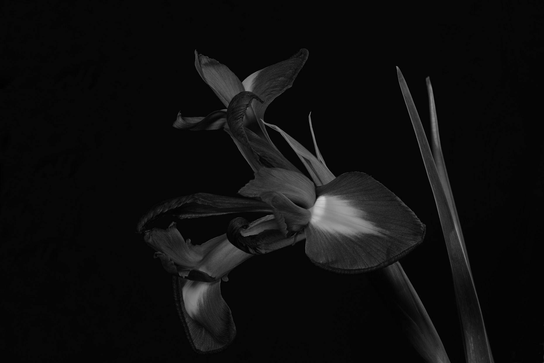 fine art photo print single iris black and white
