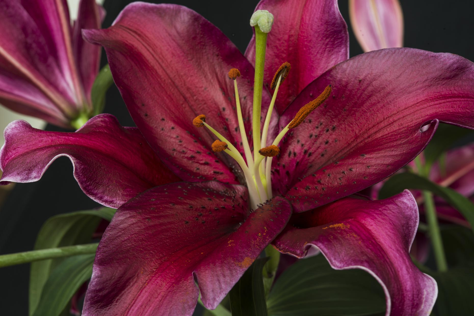Professional Flower photography of a red lily with pollen