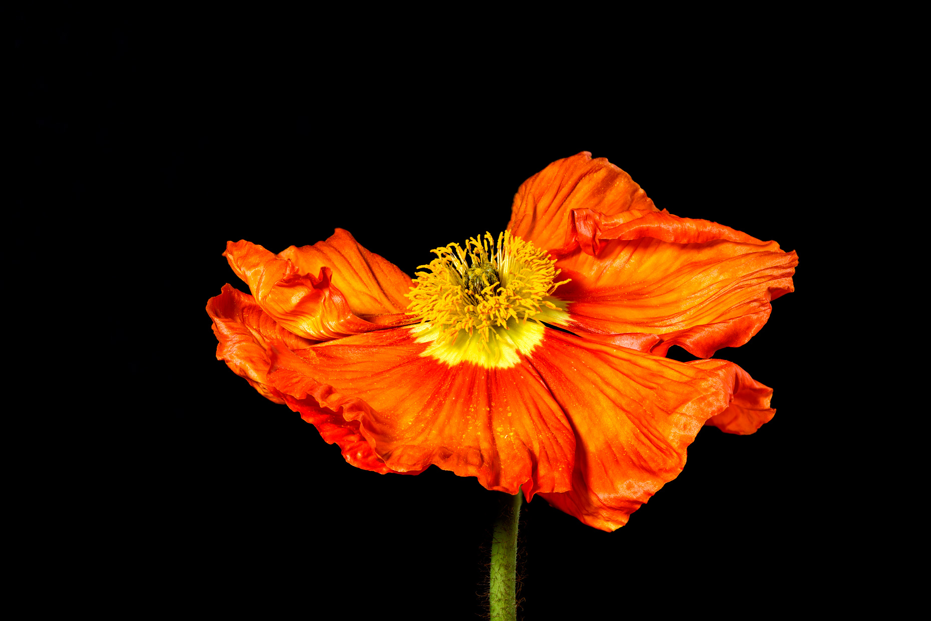 fine art photo print poppy focus stacking colour