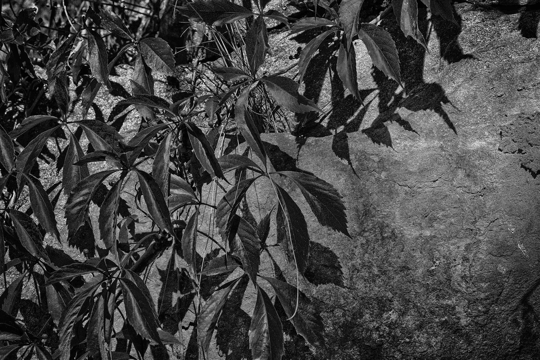 Black and White study of vine leaves on Fort Wall