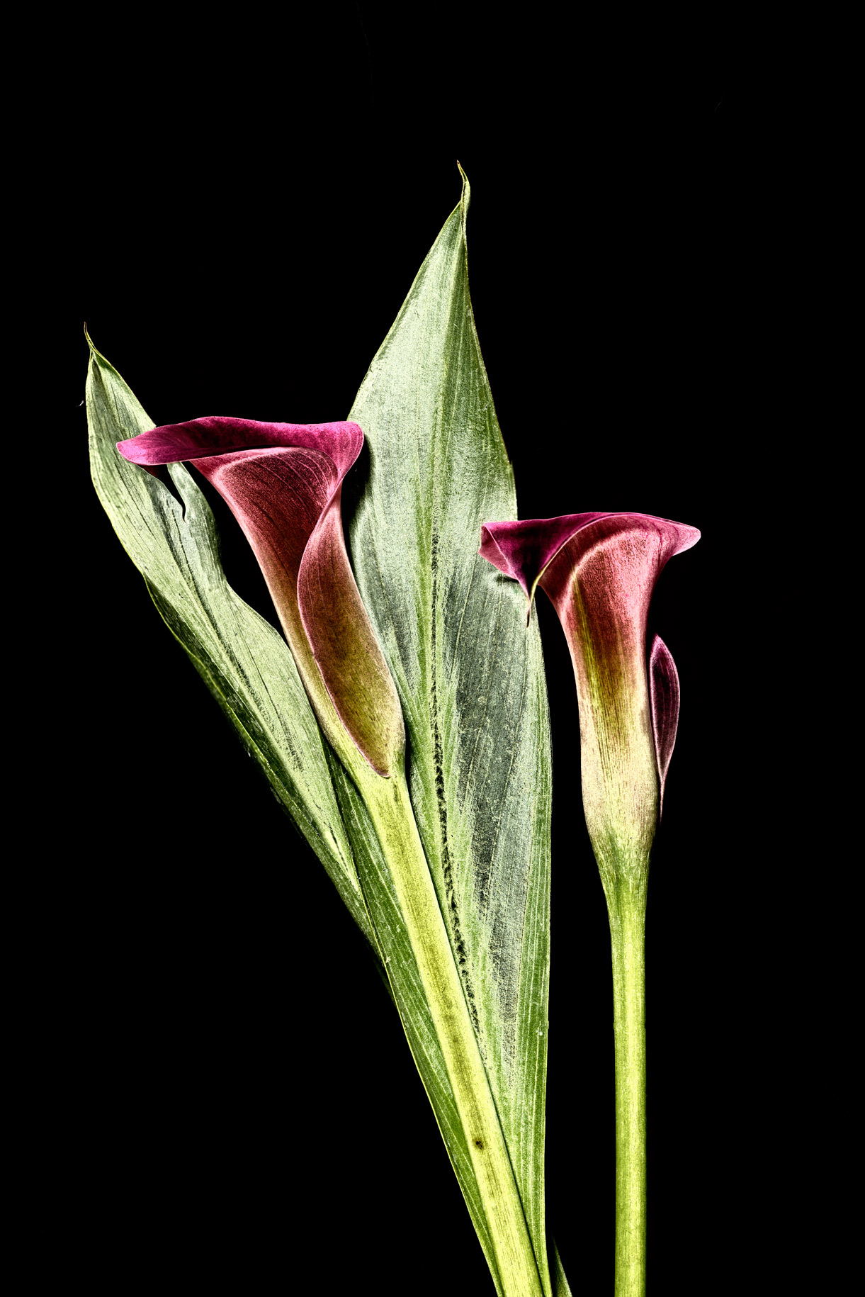 pink-calla-lily-variation-2-solarized-web