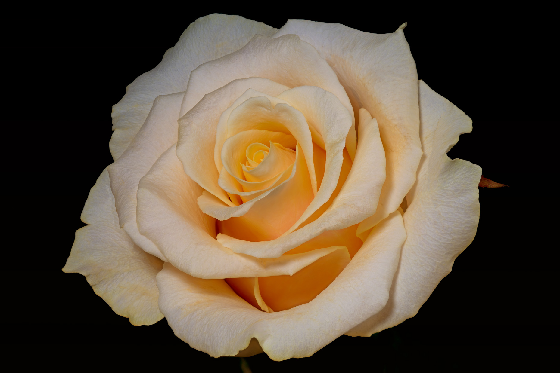 fine art  orange rose focus stacking