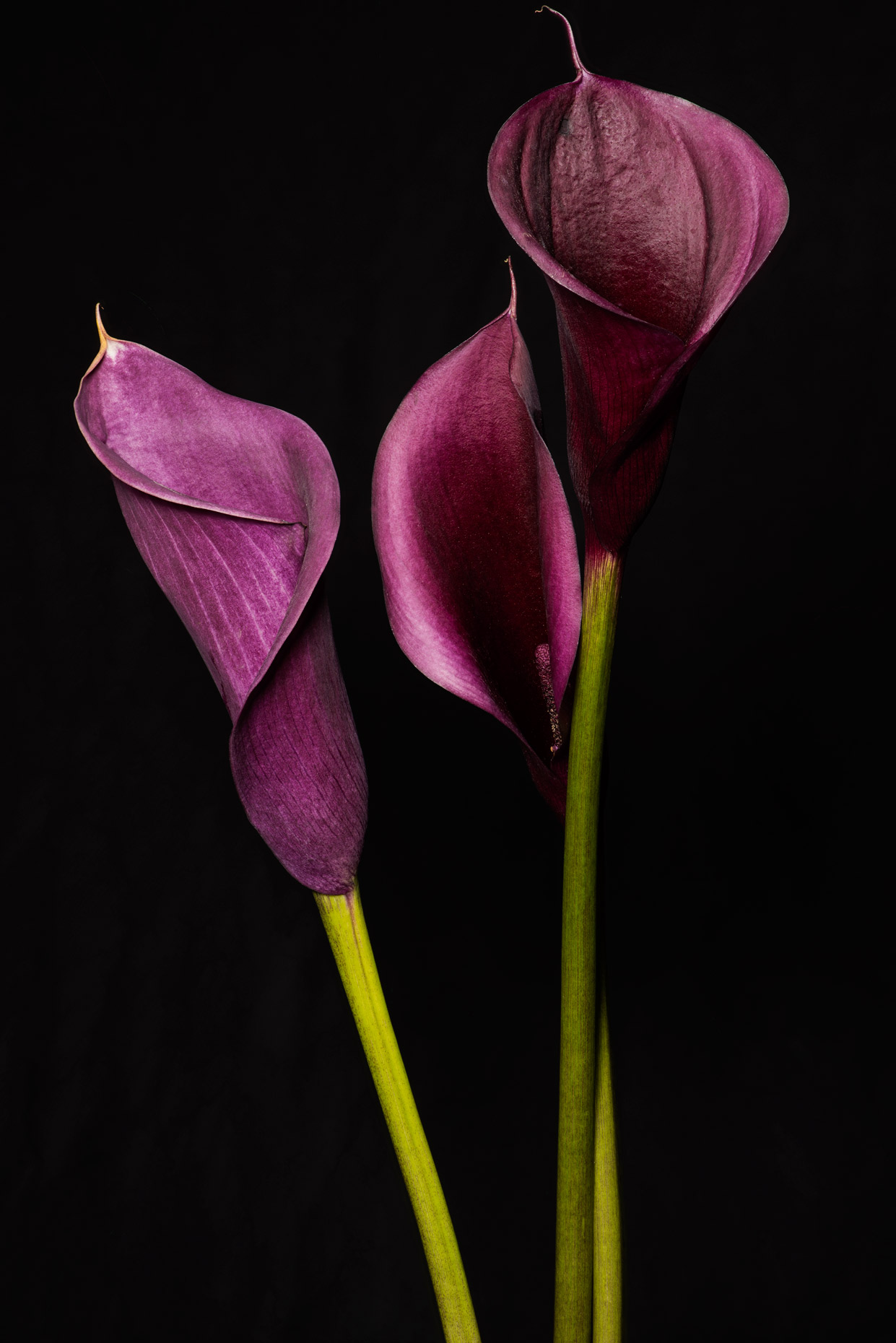 three-entwined-purple-calla-lilies-v2web