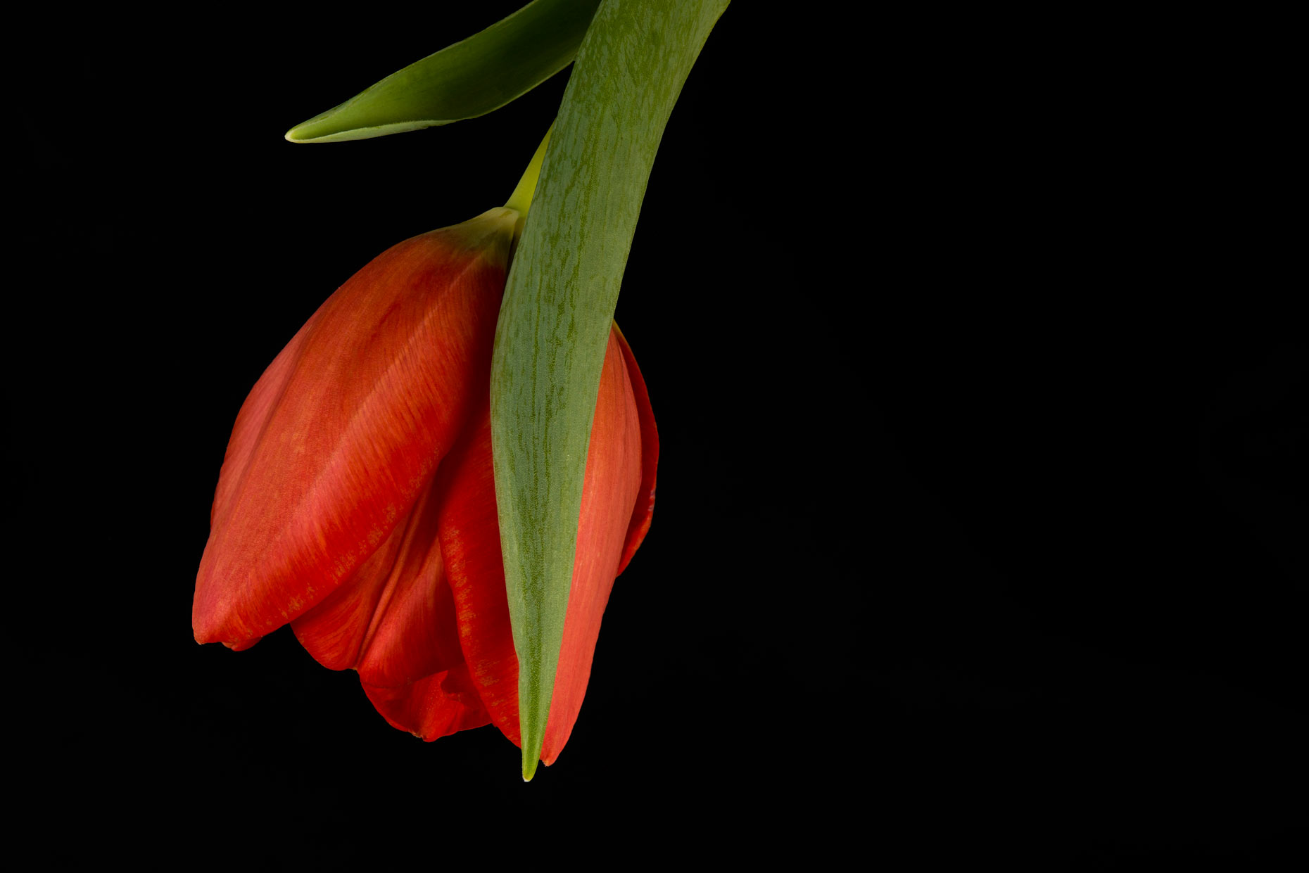 Fine Art Photograph Focus Stacking Tulip Review