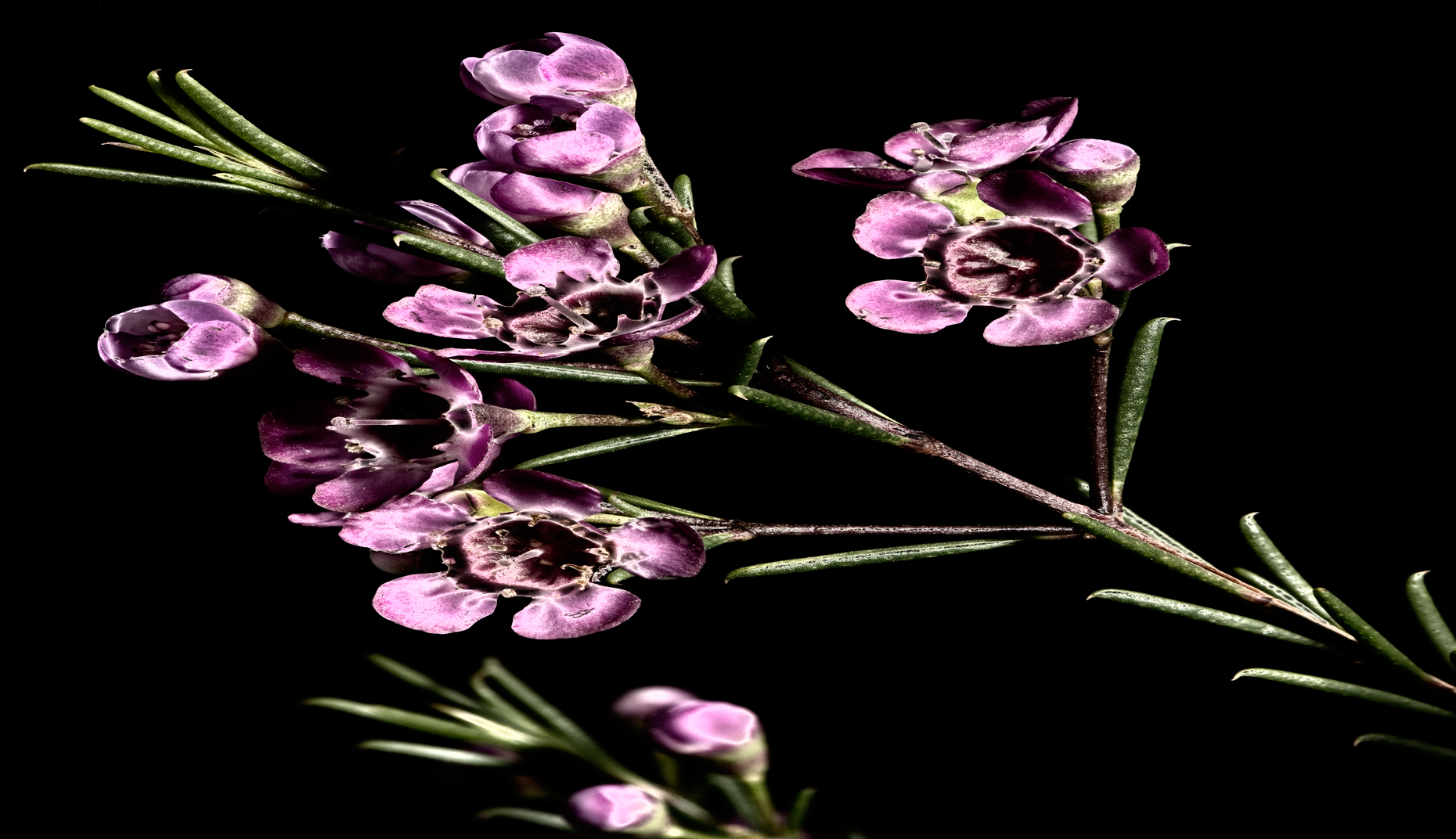 waxflower solarized web view 1
