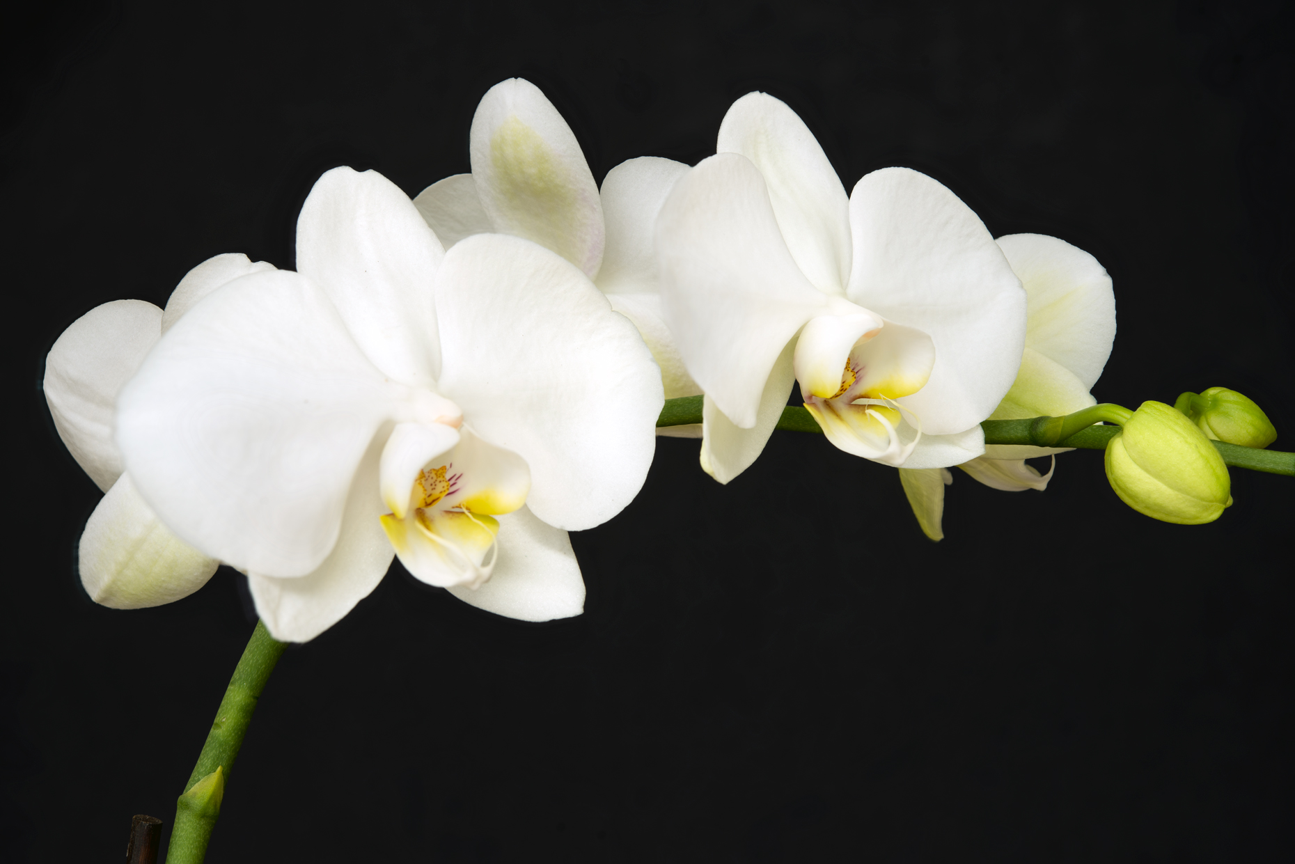 Fine Art Flower white orchid string stacked