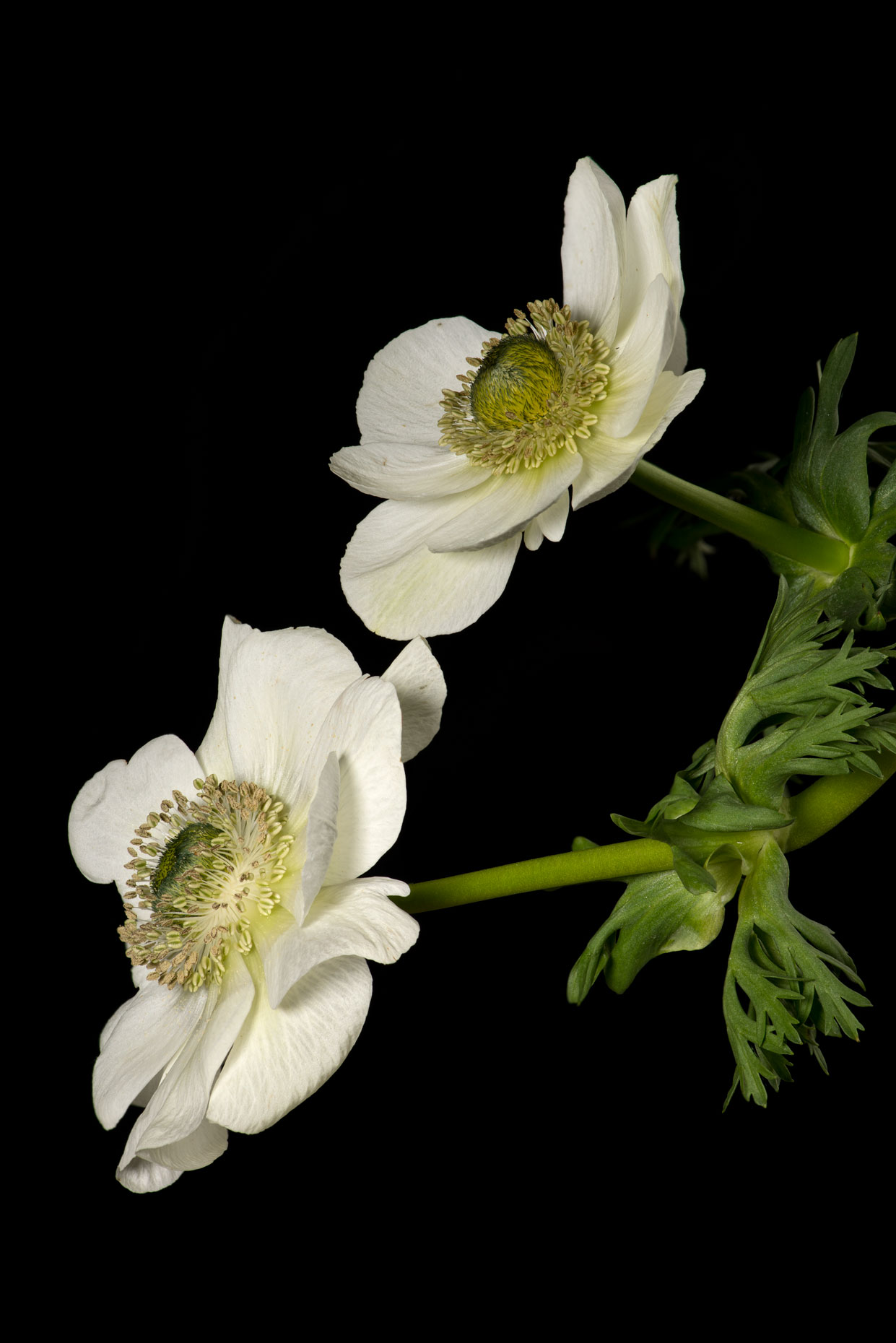white poppies 2 v8 web