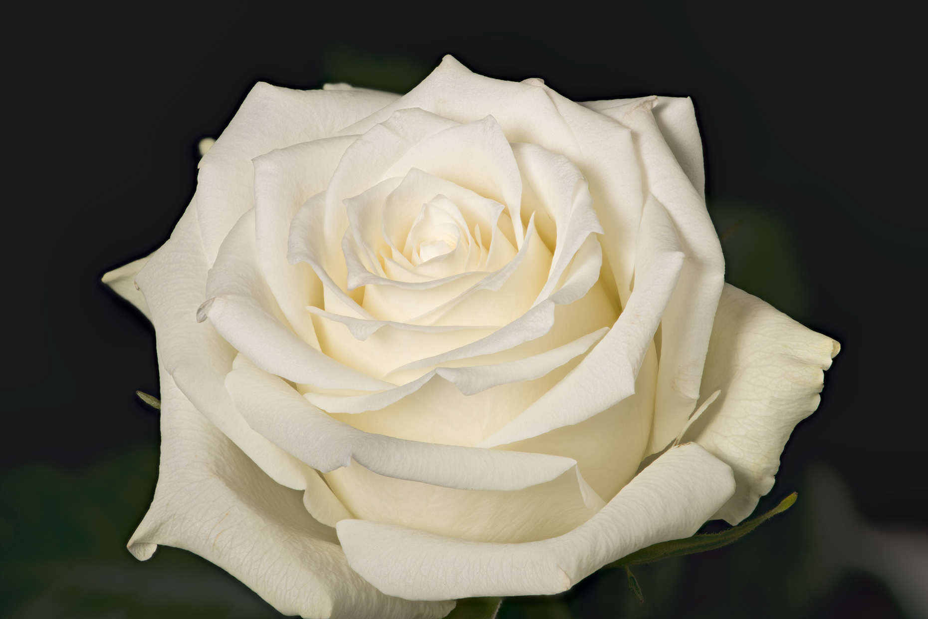 white-rose-test-2