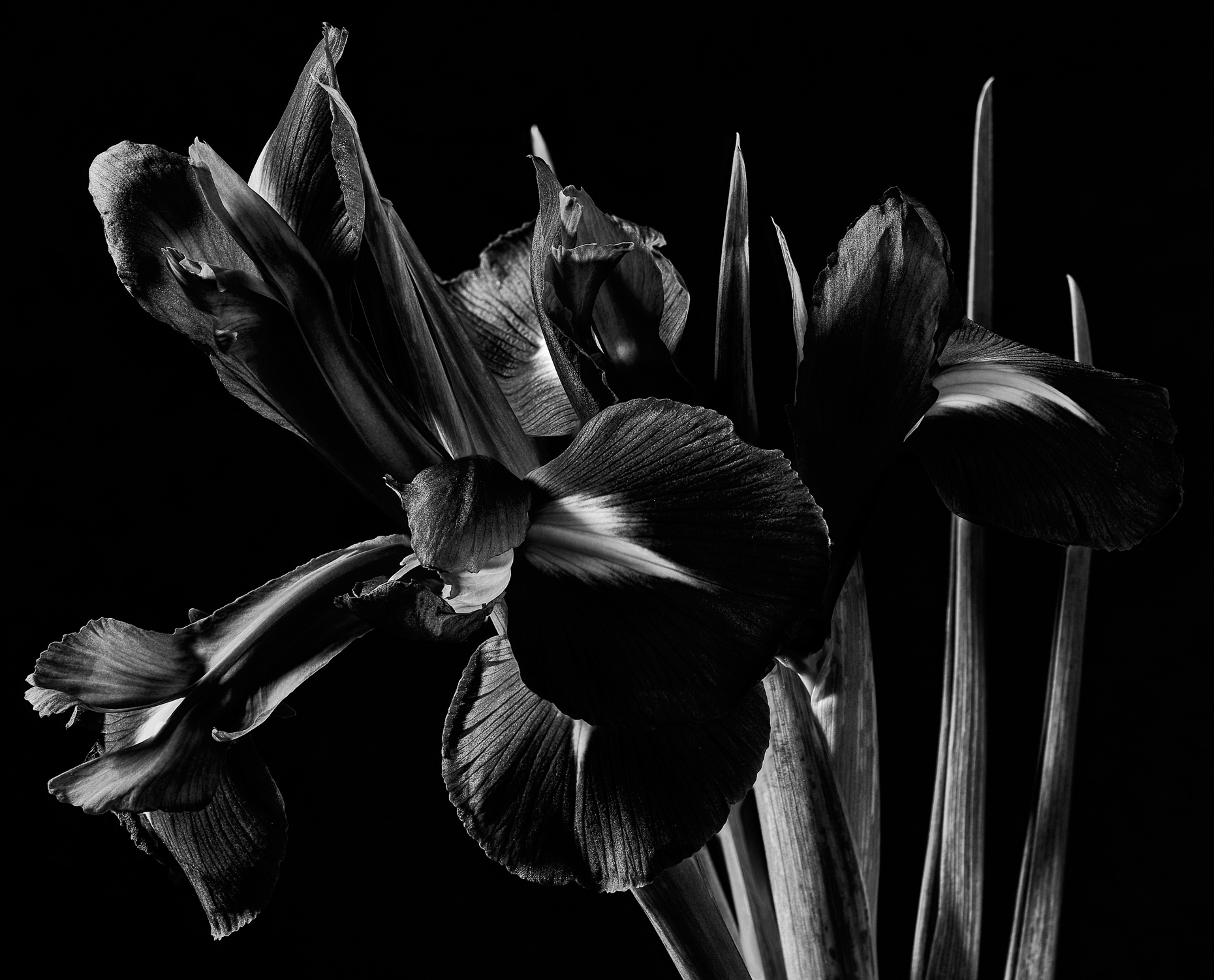 fine art black and white cropped iris