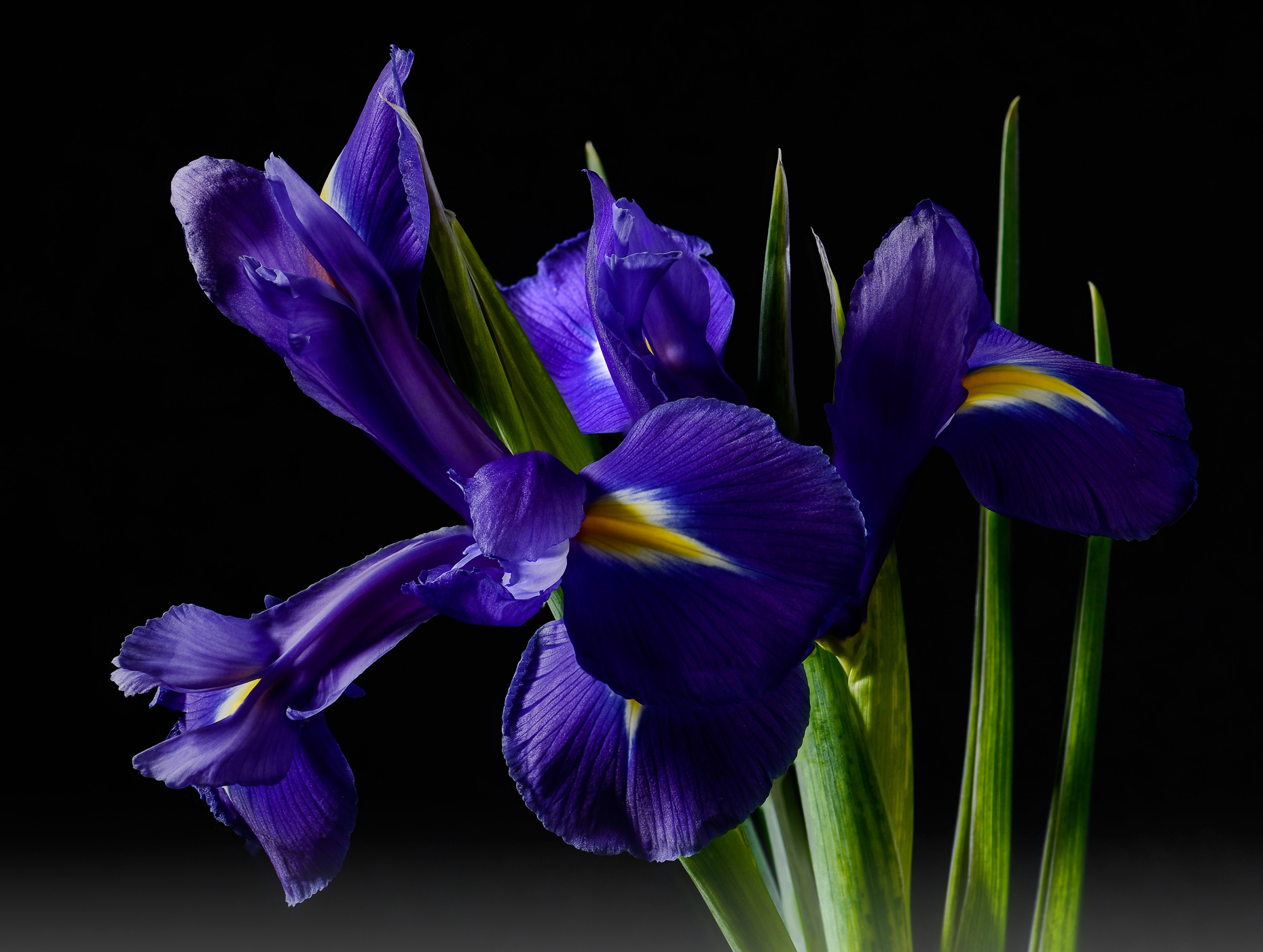 Fine art photo iris in fog