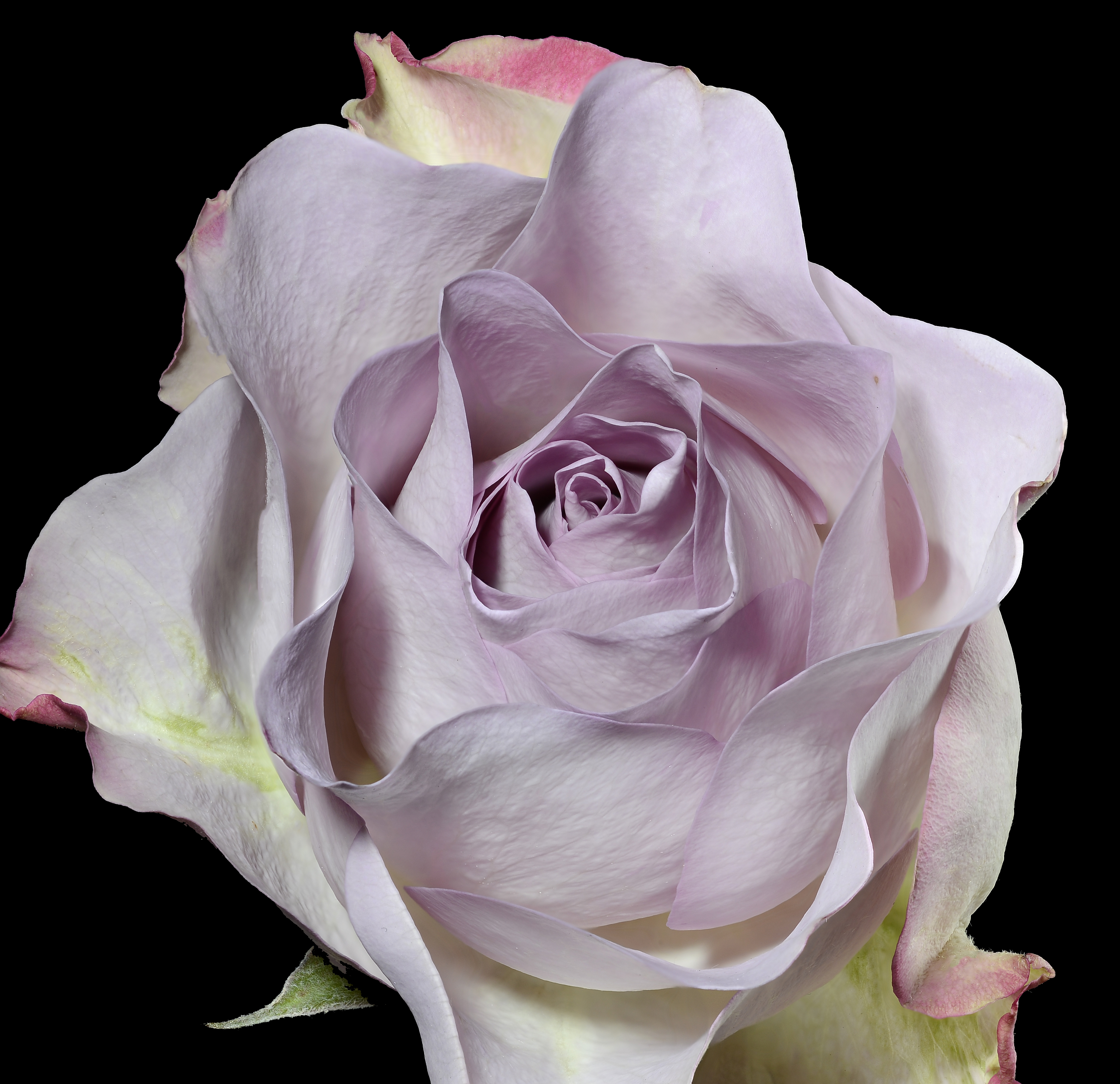 Fine Art Photo rose anthem  focus stacking